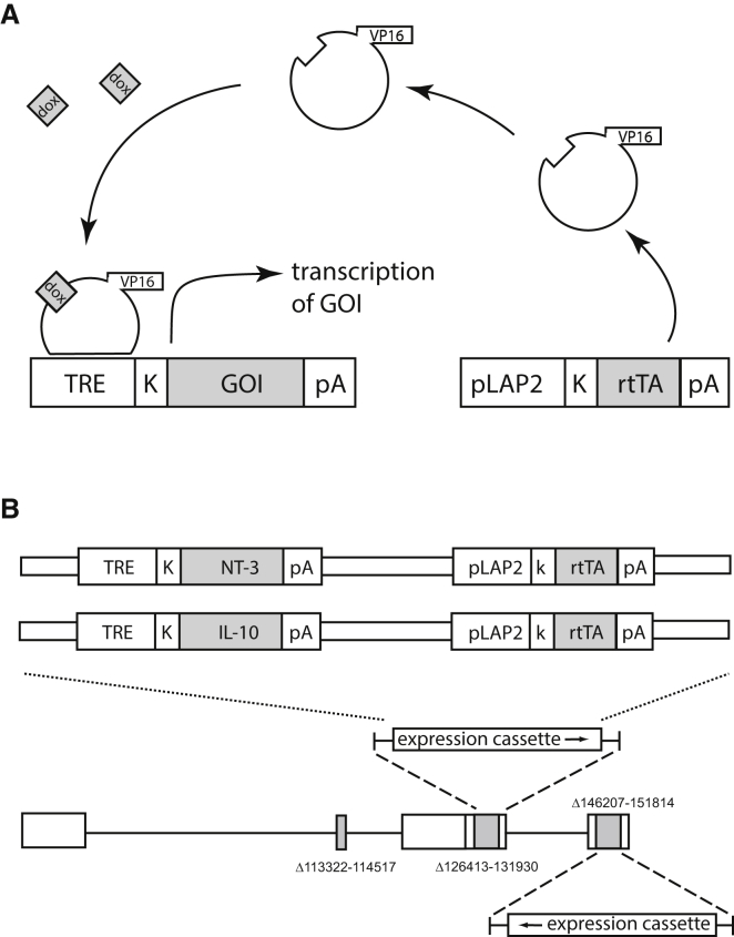 Prolonged Regulated HSV Vector Prolonged regulated gene expression was achieved using a modified tet-on system we previously developed in which the expression of the transactivator was under the control of HSV latency-associated promoter 2 (LAP2). (A) The transactivator in the tet-on system is constitutively expressed and binds to the tetracycline response element (TRE)-minimal human cytomegalovirus immediate early promoter (HCMV IEp) of the inducible transgene expression element in the presence of DOX, thus resulting in the expression of the transgene. (B) In the vectors, two copies of the regulatable transgene expression units were inserted into the ICP4 loci of the replication-deficient parental HSV virus. DOX, doxycycline; NT-3, neurotrophin 3; IL-10, interleukin 10; rtTA, reverse tet-controlled transactivator; K, kozak sequence; GOI, gene of interest.