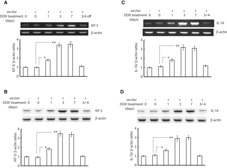 Induction of NT-3 and IL-10 Expression from the Vector by DOX in Animals Animals were inoculated subcutaneously into the skin of both hindfeet with either vL2rtNT-3 or vL2rtIL-10 and fed DOX-containing chow for 1, 3, and 7 days to examine the induced expression of the transgenes from the vectors, or animals receiving the vectors were fed DOX-containing chow for 3 days, followed by normal food for 4 days, to test the shut-off of the expression of the transgenes from the vectors in the absence of DOX. After each DOX schedule was completed, L4-6 DRGs of both sides were dissected, and NT-3 or IL-10 mRNA and proteins in the DRGs were analyzed by semiquantitative PCR and western blot. β-Actin served as a loading control. (A) Semiquantitative NT-3 PCR and NT-3 mRNA relative amount. 3/4 off, 3 days with DOX treatment/4 days without DOX treatment. (B) NT-3 western blot and NT-3 protein relative amount. (C) Semiquantitative IL-10 PCR and IL-10 mRNA relative amount. (D) IL-10 western blot and IL-10 protein relative amount. *p