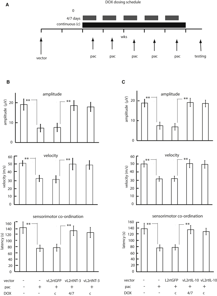 Protective Effect of Intermittent Expression of NT-3 or IL-10 from the Vectors on the Development of Paclitaxel-Induced Peripheral Neuropathy Animals were subcutaneously inoculated with either vector vL2rtNT-3 or vL2rtIL-10 or control vector vL2rtGFP and injected i.p. with paclitaxel (16 mg/kg) once a week for 5 weeks to mimic paclitaxel-induced peripheral neuropathy. Naive animals and animals receiving paclitaxel only served as the symptom-negative and -positive controls. Sensorimotor coordination and sensory nerve electrophysiological function (amplitude and conduction velocity) were evaluated 5 weeks after the initiation of paclitaxel treatment. (A) Schematic of the treatment protocol. (B) Effect of intermittent expression of NT-3 (top, sensory nerve amplitude; center, sensory nerve conduction velocity; bottom, sensorimotor coordination). (C) Effect of intermittent expression of IL-10 (top, sensory nerve amplitude; center, sensory nerve conduction velocity; bottom, sensorimotor coordination). *p