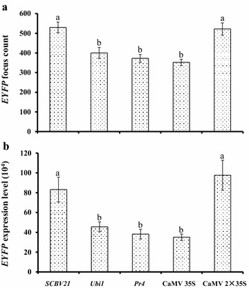 """Quantitative assessment of transient EYFP gene expression as directed by SCBV21 , Ubi1 , Pr4 , CaMV 35S or enhanced CaMV 35S (2×35S) in sugarcane young leaf segments. Values of a EYFP focus count and b total EYFP expression level (10 4 ) (mean gray value × pixels) were collected from representative images monitored with a stereomicroscope (Olympus SZX7, Olympus) fitted with YFPHQ filters (excitation of 490–500 nm and emission of 515–560 nm) and a DP71 digital camera (Olympus) (×15 magnification) at 48 h post-DNA bombardment and calculated using ImageJ software as described in """" Methods """". Values represent means with standard error from three independent experiments and nine replicates per experiment. Means with the same letter are not significantly different at p > 0.05"""