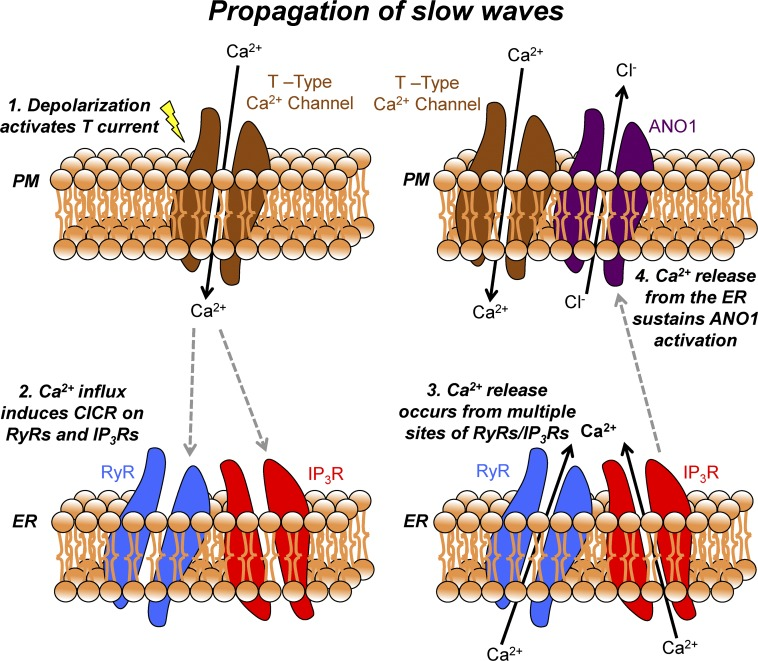 Mechanism of slow wave propagation via asynchronous Ca 2+ release. Schematic showing the mechanism by which slow waves in the mouse small intestine propagate via asynchronous ER Ca 2+ release. Electrical slow waves are propagating depolarizing events, which are actively propagated through ICC-MY networks. (1) When a slow wave propagates through the ICC-MY network, the resulting depolarization activates voltage-gated T-type Ca 2+ channels on the plasma membrane. (2) Ca 2+ influx from the opening of T-type Ca 2+ channels allows Ca 2+ ions to enter an excluded volume or microdomain and can then activate Ca 2+ release channels such as RyRs (with amplification from IP 3 Rs) on the membrane of the ER, possibly via a CICR mechanism. (3) Multiple sites of RyRs/IP 3 Rs are located across multiple microdomains in a given single ICC-MY, and thus Ca 2+ release occurs from multiple sites. Because of the excluded volume of the microdomain, individual Ca 2+ release events manifests as temporally brief events that also occur asynchronously among each other, leading to a summated Ca 2+ signal from the total sites in a cell lasting ∼1 s. (4) The summated Ca 2+ signal resulting from multiple Ca 2+ release events is able to sustain ANO1 activation, resulting in prolonged Cl − efflux from the cell and a corresponding sustained depolarization for the duration of the slow wave plateau. RyR, ryanodine receptor; PM, plasma membrane; CICR, calcium-induced calcium release.
