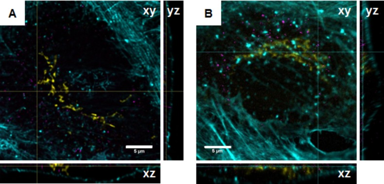 Confocal microscopic images of A549 cells exposed to 10 µg/mL FD25_Star635 (A) or FD25_Atto647N (B) for 24 h. Images represent the x – y , x – z and y – z sections derived from confocal z -stacks. The orthogonal projections indicate the intracellular location of the particles. The actin cytoskeleton is depicted in cyan, the cis-Golgi network in yellow and silica nanoparticles in magenta.