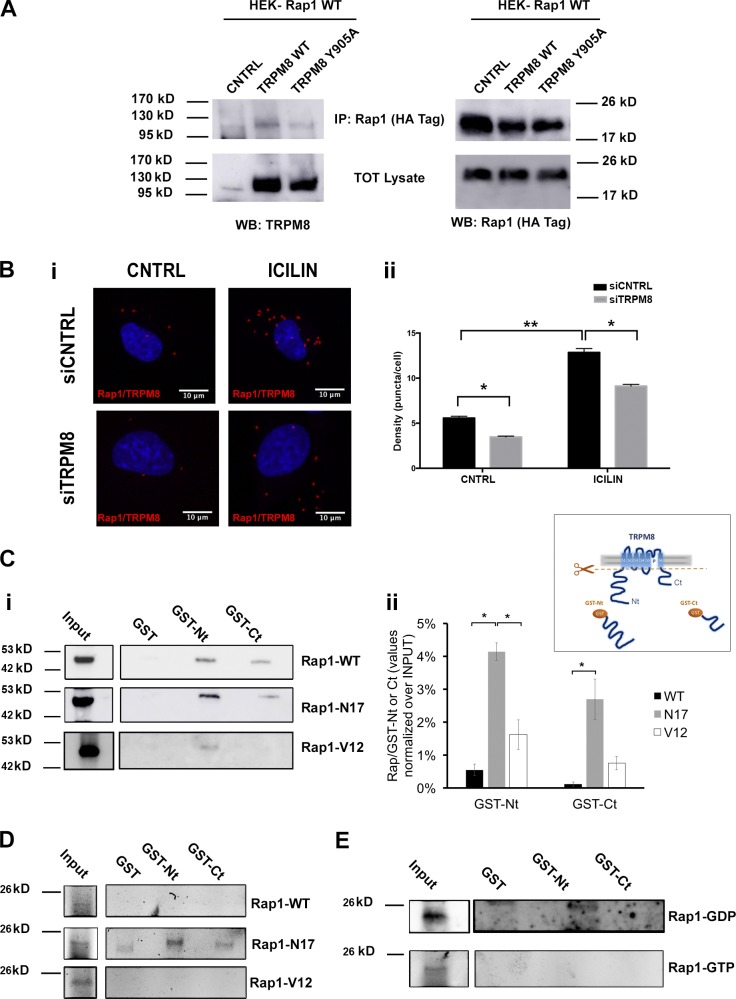 Rap1 is a TRPM8-interacting protein. (A) Representative immunoprecipitation experiments. Expression vectors encoding Rap1-WT-HA were transfected into HEK-overexpressing TRPM8- or TRPM8 Y905A -tagged cells. Cell lysates were immunoprecipitated (IP) with an anti–HA antibody and immunoblotted with antibodies against TRPM8 and HA. Images in C and D are representative of three independent experiments. (B) In situ detection of endogenous TRPM8/Rap1 interaction in HMECs. TRPM8/Rap1 complexes were monitored using PLA using <t>anti–TRPM8</t> and Rap1 antibodies followed by staining with proximity probes, ligation, and localized rolling-circle amplification. HMECs silenced for TRPM8 (siTRPM8) or not (siCNTRL), in the presence or absence of 10 µM icilin (10 min treatment). Close locations between the two proteins were observed as red fluorescent dots and DAPI-stained nuclei as blue. (Bii) Puncta density quantified as mean ± SEM puncta per cell. *, P ≤ 0.05; **, P ≤ 0.001 (Student's t test). (Ci) TRPM8 N-terminal tail (GST-Nt), C-terminal tail (GST-Ct), or GST were incubated with lysates of HEK cells overexpressing Rap1-WT-GFP, Rap1-N17-GFP, or Rap1-V12 and precipitated using GST. Western blotting was performed with anti–GFP antibody. One representative experiment of three is shown. (Cii) Quantification of Rap1/TRPM8 tails normalized over the input. Data are expressed as mean ± SEM. *, P