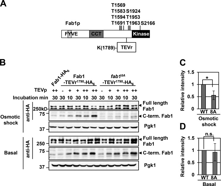 Phosphorylation of the Fab1 complex by Pho85–Pho80 leads to a change in its conformation and/or composition. (A) Schematic of Fab1-TEVr 1790 -HA 6 . Phosphorylation sites identified by alanine mutagenesis and TEVr 1790 are indicated. (B) A fab1Δ mutant expressing pFab1-TEVr 1790 -HA 6 or pFab1 8A -TEV 1790 -HA 6 exposed to 0.9 M NaCl for 0 min (Basal) or 5 min (Salt) and lysed with TEV buffer. After limited digestion with TEVp (++, 0.125 U/µl; +, 0.0625 U/µl) for 10 or 30 min at 4°C, reactions were terminated with an equal amount of 2× SDS sample buffer. Samples were separated by SDS-PAGE. Western blot: anti-HA or Pgk1 (control). Black arrowheads indicate full-length Fab1 or C termini of Fab1 generated by TEV cleavage. Blots are representative of three independent experiments. (C and D) Quantifications of band intensities from osmotic shock (C) and basal (D) experiments from 0.125 U/µl TEVp with 30 min treatment. Means ± SD are shown. n = 3. *, P