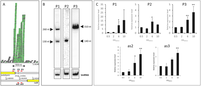 Characterization of an sRNA transcription hotspot in Staphylococcus aureus Newman. ( A ) RNA mapping profile of IGR_11415444 visualized with Artemis. P1, P2, P3, as2, and as3 correspond to the position of probes and/or primers for northern blot and RT-qPCR experiments. ( B ) Identification of multiple transcripts expressed from the positive strand of the Newman genome. Total RNA were extracted from cells collected at an OD 600nm of 6 and tmRNA was used as an internal loading control. ( C ) Relative expression levels of the IGR_1141544 locus as a function of growth phase. The relative cDNA level was determined using HU as an internal control and OD 600nm of 0.5 as a calibrator. The data shown are the means of three independent experiments. A student t-test was performed to determine differences with condition at OD 600nm of 0.5 (* p