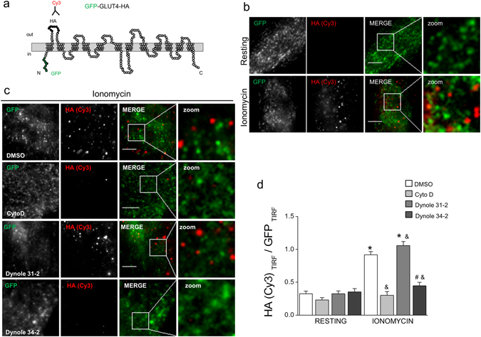 Pharmacological inhibition of dynamin GTP-activity reduces GLUT4 insertion in the plasma membrane of RCMH myoblasts. Cultured RCMH myoblasts were transfected with the GFP-GLUT4-HA construct and 48 ± 2 h later were stimulated for 5 min with 20 µM ionomycin in the presence of 20 µM dynole 31-2, 20 µM dynole 34-2, 4 µM CytoD or the vehicle DMSO at 37 °C, fixed, immunolabeled with an anti-HA antibody without permeabilization, incubated with a Cy3-conjugated antibody and visualized by TIRF microscopy. The plasma membrane insertion of GLUT4 was quantified as a ratio between Cy3 (red) and GFP (green) signals in the evanescent field. ( a ) Schematic representation of the GFP-GLUT4-HA construct; GFP is located in the N-terminal intracellular loop and the exofacial hemaglutinin (HA)-tag in the first extracellular loop. ( b ) Examples of TIRF images of non-treated cells under resting (upper panels) or stimulated (bottom panels) conditions (250 × 250 pixels images are shown). Note that ionomycin induces GLUT4 translocation, as the HA (Cy3) signal in the evanescent field becomes detectable (red spots). ( d ) 250 × 250 pixels representative images of RCMH cells stimulated in the presence of DMSO, CytoD, dynole 31-2 or dynole 34-2. Cell periphery is drawn in white. ( e ) HA (Cy3)/GFP ratio in the evanescent field is plotted for each experimental condition. Note that, as CytoD does, dynole 34-2 significantly inhibits the stimulus-dependent plasma membrane insertion of GLUT4. Data are means ± SEM. Statistical comparisons were performed utilizing a two-tail t-test Welch corrected for parametric data. The symbol * denote significance compared to the respective resting condition; and # symbols denote significance compared to ionomycin-stimulated cells treated with DMSO and Dynole 31-2, respectively. N is between 20 and 29 cells, from at least three different cultures per experimental condition. Scale bar = 10 µm.