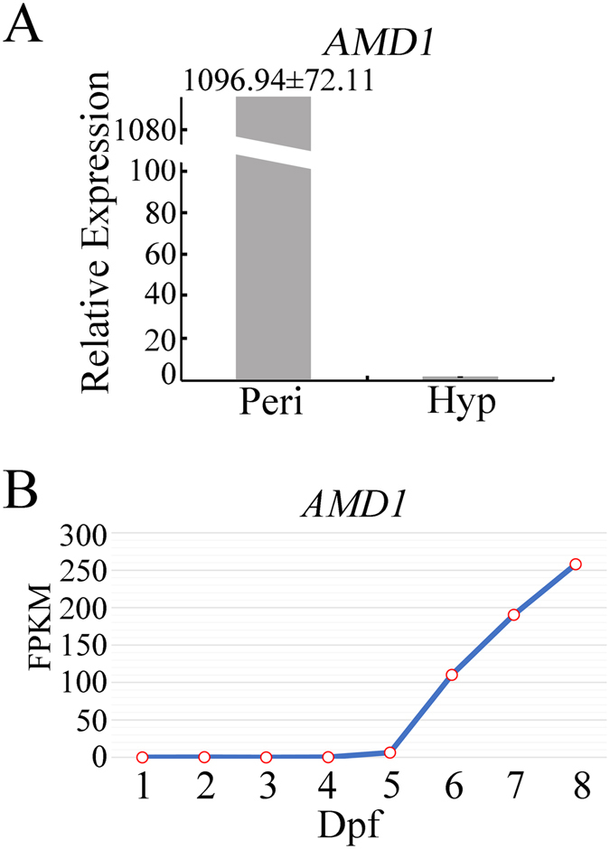 Expression of AMD1 in late stages of sexual development. (A) The expression level of AMD1 transcripts was assayed by qRT-PCR with RNA isolated from 12 h YEPD cultures (Hyp; arbitrarily set to 1) and 8 days post-fertilization (dpf) perithecia (Peri). Mean and standard deviation were calculated with data from three independent replicates. ( B ) The abundance of AMD1 transcripts in different sexual stages based on RNA-seq data of mating cultures collected at 1–2 dpf and perithecia sampled at 3–8 dpf. FPKM: Fragments Per Kilobase of exon per Million fragments mapped.