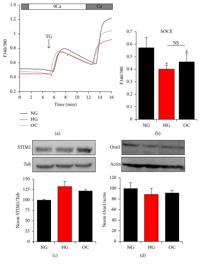 Effect of glucose Ca 2+ influx in A7r5 VSM cells. Effect of HG and NG on store-operated Ca 2+ entry (SOCE) (a, b) and on protein expression of STIM and Orai1 (c-d). Cells were loaded with Fura2-AM and SOCE stimulated after store depletion with 1 μ M thapsigargin (TG), an irreversible inhibitor of SERCA (a, b). Protein expression of STIM and Orai1 was determined between the different groups by western blot (c-d). Densitometry analysis was performed using Gene Tools, Geliance 600 Imaging system. Data are presented as mean ± SE from at least three independent experiments done each in triplicate. ∗ p