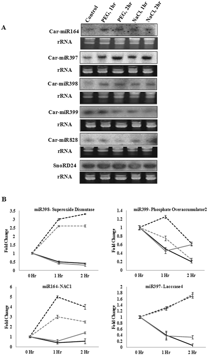 Expression analysis of genome-annotated conserved miRNAs in chickpea root apex under PEG and salt treatment. ( A ) Northern blot was performed to analyse expression levels of miRNAs at 2 mm region of chickpea root apex after 1 hr and 2 hrs of PEG and salt treatments. 15 µg of enriched small RNA from control and treated samples was loaded on denaturing (7 M urea) polyacrylamide (15%) gel. Radiolabeled antisense probes were used for hybridization. Ethidium bromide-stained small RNAs were shown for equal loading. SnoRD24 was used as control. ( B ) Expression pattern of the miRNAs shown in Fig. 2A and their predicted target genes in response to the same treatments as assessed by qRT-PCR. Standard deviations of three replicates were shown. CaEF1α was used as internal control for normalization. Grey and black lines represent salt and water deficit stress treatments, respectively. While dotted and solid lines represent miRNA and target gene, respectively.