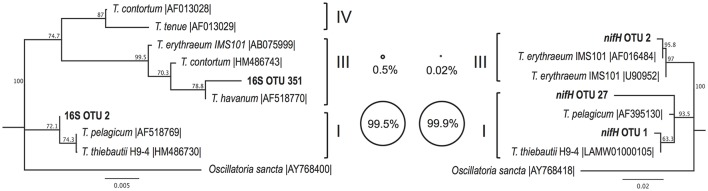 Neighbor joining phylogenetic trees depicting the relationships between Trichodesmium OTUs (97% nucleotide similarity) from partial 16S rRNA (left) and partial nifH (right) gene sequences, together with reference sequences from cultivated representatives (accession numbers given). Major Trichodesmium clades (Lundgren et al., 2005 ) are shown in Roman numerals. Bubble plots depict the percentage of Trichodesmium DNA sequences from this study which group with each clade, according to partial 16S rRNA (left) and partial nifH (right) amplicon datasets. Bootstrap values (1,000 replicates) of > 50% are provided. Scale bars represent nucleotide substitutions per site.