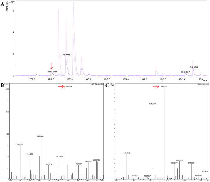 Ligand identification of by MALDI-MS and HRMS. ( A ) MALDI-MS spectra profile of pure Indole-3-acetic acid (IAA) acquired from Sigma-Aldrich (magenta) and IAA obtained from denatured WTG sample (blue). The auxin (IAA) corresponds to a molecule with m/z = 175.15 (shown by red arrow). In addition, the spectrum also showed peaks in the low molecular weight range from 100–500 Da indicating peaks corresponding to the matrix ions. ( B ) HRMS profile of sample isolated from purified WTG wild-type protein. ( C ) HRMS profile of standard auxin. A peak at 198.10 corresponding to an m/z ratio of the IAA sodium adduct C 10 H 9 NO 2 Na [M + Na] + was obtained. The red arrow in B and C indicate the m/z ratio of the IAA sodium adduct.