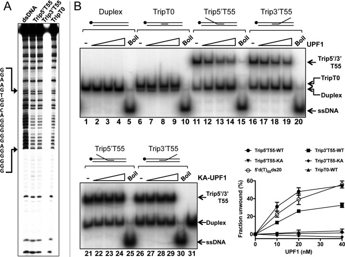 hUPF1 unwinds triplex DNA. ( A ) Methylation protection of the triplex substrates without (TripT0) or with d(T) 55 3΄ or 5΄ extensions to the triplex forming oligonucleotide (Trip3΄T55 and Trip5΄T55). The top strand of the duplex/partially triplex sequence was 32 P-end labeled. ( B ) Helicase assays, 10–40 nM hUPF1 or variant K498A (KA-UPF1), 0.2 nM 32 P-end labeled substrate (5΄ end, top strand of parent duplex). Duplex DNA and substrate TripT0 (no ssDNA component) were not unwound. Trip5΄T55 was resolved with an efficiency approaching that of substrate 5΄d(T) 55 ds20 (run in parallel but not shown in (B)). Substrate Trip3΄T55 was also resolved by hUPF1 at ∼70% efficiency compared to substrate Trip5΄T55. All substrates were analysed in parallel, n = 3 experimental repeats, mean and standard deviation shown in the graph.