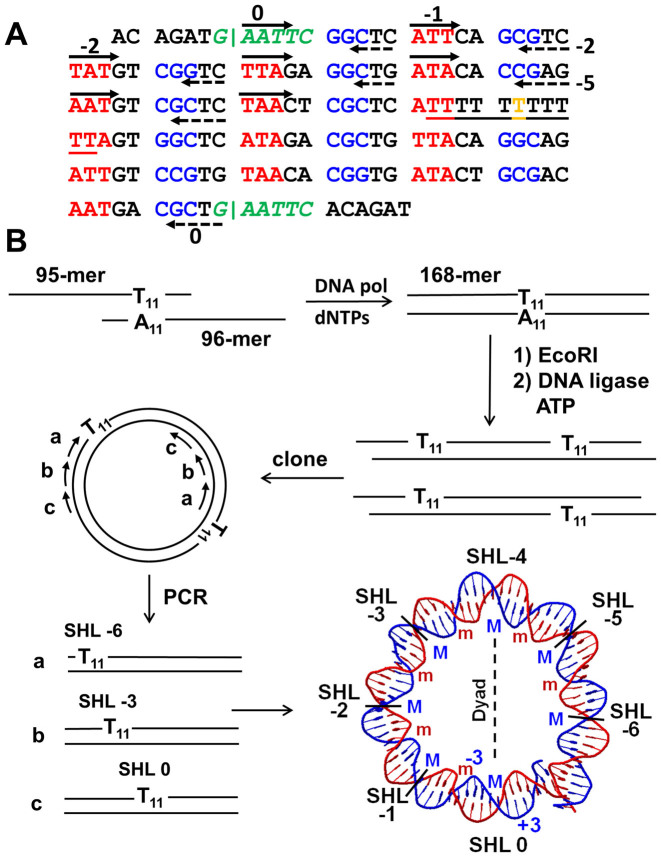 Circular permutation polymerase chain reaction (PCR) strategy used for preparing nucleosomal DNA with T 11 -tracts at specific superhelix locations (SHLs). ( A ) A 168-mer DNA duplex was designed to have a centrally located T 11 -tract (underlined), terminal EcoRI restriction sites (green italic), phased minor groove bending (T/A) 3 sequences in red and major groove bending (G/C) 3 sequences in blue. The T in orange in the T 11 -tract corresponds to the position at which the major groove is expected to bend toward the histone surface at the dyad axis. ( B ) The 168-mer DNA duplex was prepared by primer extension of two overlapping 95 and 96-mers, cleaved with EcoRI and multimerized with T4 DNA ligase and adenosine triphosphate. The dimer was then excised from a gel and cloned. Nucleosomal DNAs with T 11 -tracts at specific SHLs were prepared from the clone by PCR using specific pairs of forward and reverse primers ( Supplementary Figure S3 ) whose positions are shown as solid and dashed arrows respectively on the sequence in panel A. The SHLs are identified by the number of helical turns from the dyad axis on the blue strand containing the T 11 -tract. They are negative to correspond with the negative numbers assigned to nucleotides on the T 11 -tract strand that are 5΄-to the T at the dyad axis which is assigned as 0. The −3 (inside) and +3 (outside) nucleotide positions are shown in blue. The positions at which the major and minor grooves face the histone surface are indicated by M and m, respectively, and are colored coded blue and red to match the major groove and minor groove bending motifs in panel A.