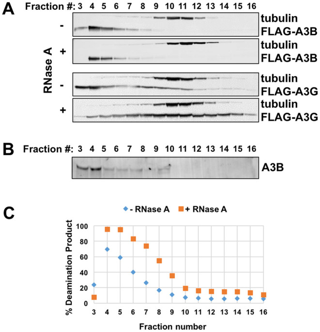 Analysis of the oligomeric status of the wild-type A3B. ( A ) Western blot of FPLC fractions of HEK293T cell lysate expressing A3B and A3G under no RNase A and with RNase A conditions. α-tubulin is an endogenous control. The fraction shift of A3B under with RNase A condition is due to the slightly variation of FPLC, as shown in Supplementary Figure S5A . ( B ) Western blot of FPLC fractions from MDA-MB231 cells lysate, showing the endogenous A3B. ( C ) The deamination activity of A3B FPLC fractions from A.