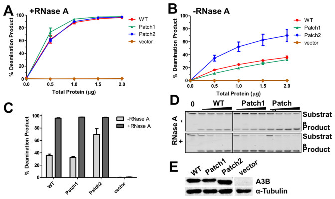 Deamination assay of HEK293T cell lysate expressing patch 1 and 2 mutants. (A, B) Quantified deamination results under conditions with RNase A ( A ) and without RNase A ( B ). ( C ) The percentage of the product with cell lysate of 2 μg total protein is also shown in bar graphs for comparison. ( D ) The represented results of deamination assay for wild-type A3B, 4Y and W+4Y mutants under the condition with RNase A and without RNase A. ( E ) The expression of A3B and mutants in the 293T cells lysate are at similar levels, confirmed by western blot.