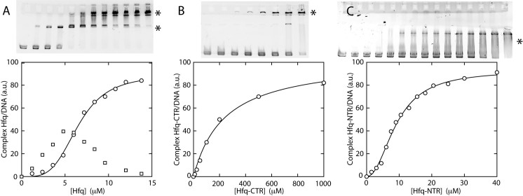 In vitro analysis of Hfq protein–DNA binding properties. ( A ) Gel shift showing the binding of wild-type Hfq to DNA. ( B ) Binding of Hfq–CTR. ( C ) Binding of Hfq–NTR. The intensities of the asterisk-marked bands are set out in the graphs versus the concentration of monomeric Hfq, Hfq–CTR and Hfq–NTR, respectively. Note that a significant supershifted species is observed only in the case of wild-type Hfq. Curves represent non-linear least-squares fits of cooperative (Hfq, Hfq–NTR) and non-cooperative (Hfq–CTR) binding models.