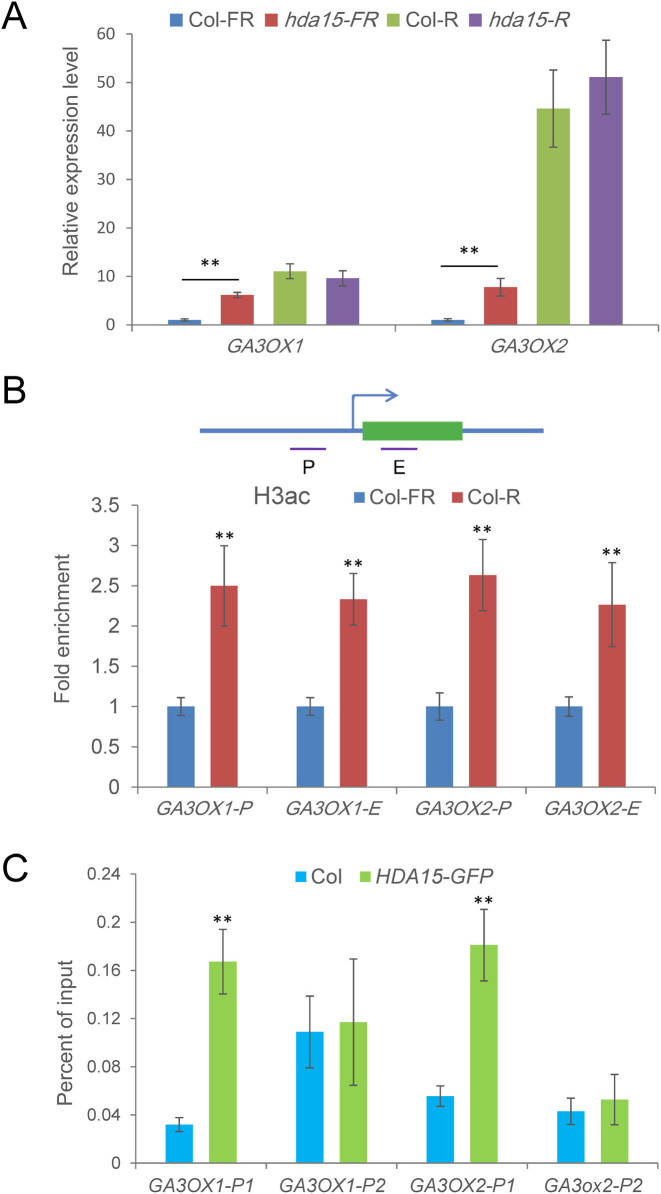 HDA15 directly represses GA3OX1 and GA3OX2 expression by histone deacetylation. ( A ) qRT-PCR analysis of the expression levels of GA3OX1 and GA3OX2 in Col-0 and hda15 seeds under FR and FR/R conditions. PP2A was used as an internal control. Values are shown as means ± SD ( t -test, * P