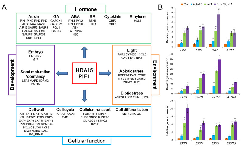 HDA15-PIF1 co-represses the genes involved in plant hormones and cellular processes in imbibed seeds. ( A ) HDA15-PIF1 co-repressed genes related to plant hormones and cellular processes. ( B ) qRT-PCR analysis of the expression levels of PINs, XTHs and EXPs in Col-0, hda15, pif1 and hda15 pif1 seeds in FR conditions. PP2A was used as an internal control. Values are shown as means ± SD ( t -test, * P
