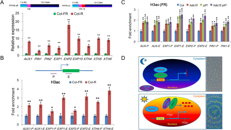 HDA15 and PIF1 decrease the histone H3 acetylation levels of the target genes. ( A ) qRT-PCR analysis of the expression levels of PINs, EXPs and XTHs under FR and FR/R conditions. PP2A was used as an internal control. Values are shown as means ± SD ( t -test, * P