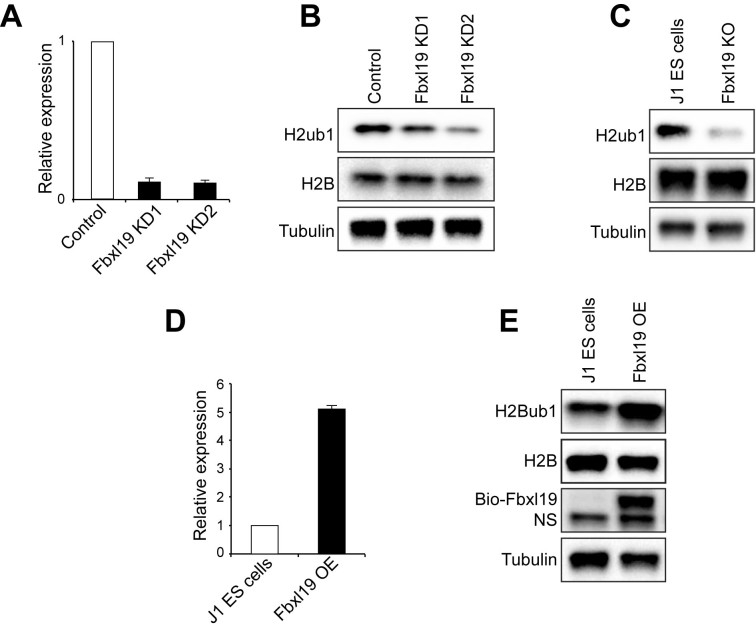 Fbxl19 is implicated in mono-ubiquitination of H2B. ( A ) A bar graph presenting knockdown (KD) efficiency of Fbxl19 measured by qRT-PCR. Error bars indicate standard error of the mean ( n = 3). ( B and C ) Western blots showing decreased levels of H2Bub1 upon KD (B) and KO (C) of Fbxl19. ( D ) A bar graph presenting overexpression (OE) level of Fbxl19 measured by qRT-PCR. Error bar indicates standard error of the mean ( n = 3). ( E ) Western blots showing induced level of H2Bub1 upon OE of Fbxl19. OE level of Fbxl19 was detected by HRP-conjugated streptavidin. WT indicates wild-type ES cells. NS indicates non-specific band.