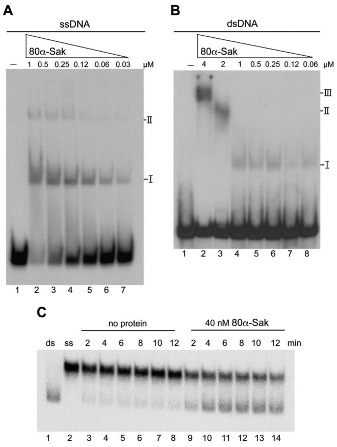 ssDNA binding and annealing activities of S. aureus phage 80α Sak protein. ( A ) Electrophoretic mobility shift assay showing the binding of Sak protein to ssDNA. Radiolabelled oligo 100-nt-up (0.5 nM) was incubated with increasing amounts of Sak protein (from 30 nM to 1 μM) in buffer B containing 1 mM MgCl 2 for 15 min at 37°C. The two types of complexes formed are denoted by I and II. ( B ) Binding to dsDNA. Radiolabelled pUC18 HindIII–NdeI 216 bp dsDNA fragment (0.5 nM) was incubated with increasing amounts of Sak protein (from 60 nM to 4 μM) in buffer B containing 1 mM MgCl 2 for 15 min at 37°C. The three types of complexes formed are denoted by I, II and III. ( C ) Sak promotes single-strand annealing. Radiolabelled oligo 100-nt-up and its complementary (0.5 nM) were incubated with a fixed concentration of Sak (40 nM) in the presence of 5 mM magnesium acetate. At the given time points, aliquots were removed and deproteinized. The reaction products were analyzed by 8% PAGE and autoradiopgraphy. Lane 1: control annealed 100 bp ds <t>DNA;</t> lane 2: radiolabelled oligo 100-nt-up; lanes 3–8: control reaction without protein (2–12 min); lanes 9–14: reaction with Sak of phage 80α (40 nM, 2–12 min).