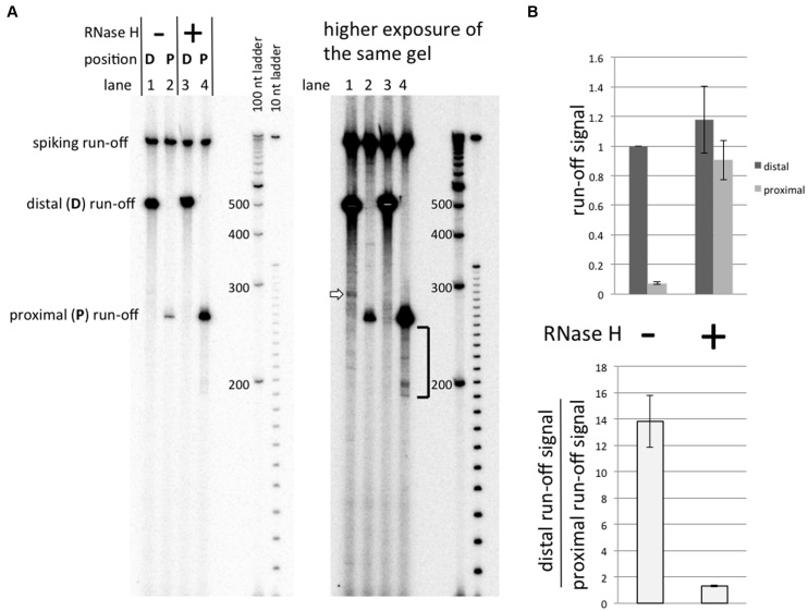 Effect of RNase H upon transcription. Substrates containing the G-rich sequence were used in these experiments. See the Results section for description of the experiment. ( A ) Gel image. ( B ) Quantitation of the results. All run-off signals are normalized to the signal for promoter–distal substrate transcribed without RNase H.