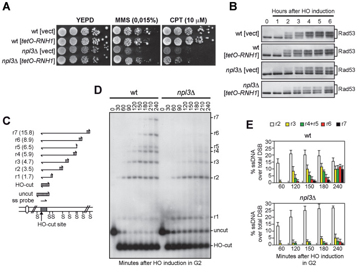 The lack of NPL3 impairs extensive resection of DSB ends. ( A and B ) Exponentially growing cell cultures of wild type and npl3Δ strains, both carrying a centromeric plasmid either expressing the RNH1 gene from the tetO promoter or empty (vect), were either serially diluted (1:10) before being spotted out onto YEPD plates with or without MMS or CPT (A), or transferred to YEPRG to monitor Rad53 phosphorylation by western blot (B). ( C ) System to detect DSB resection. Gel blots of SspI-digested genomic DNA separated on alkaline agarose gel were hybridized with a single-stranded RNA MAT probe (ss probe) that anneals to the unresected strand. 5΄-3΄ resection progressively eliminates SspI sites (S), producing larger SspI fragments (r1 through r7) detected by the probe. ( D and E ) Exponentially growing YEPR cell cultures were arrested in G2 with nocodazole and transferred to YEPRG (time zero) in the presence of nocodazole. (D) DSB resection as described in (C). (E) Resection products in (D) were analyzed by densitometry. The mean values are represented with error bars denoting SD ( n = 5).