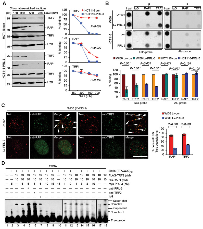 PRL-3 relocates RAP1 and TRF2 from telomeric DNA. ( A ) Effects of PRL-3 stable overexpression on the chromatin abundance of RAP1, TRF2 and TRF1. Nuclei from HCT116 cells were homogenized in buffer containing indicated concentrations of NaCl. Chromatin-enriched fractions were analyzed by western blot. Left, representative blots. Right, relative levels of TRF2, RAP1 and TRF1. Protein band were scanned and relative OD was calculated by normalizing to OD of H2B. The relative OD of sample prepared with 150 mM NaCl was set as 100%. Mean ± SD of three independent experiments. ANOVA. ( B ) Effects of PRL-3 stable overexpression on bindings of RAP1 and TRF2 to telomeric and Alu DNA. Indicated cells were crosslinked, immunoprecipitated with antibodies to RAP1, TRF2 or pre-immune IgG, and precipitated DNA was analyzed by ChIP. Upper, representative blots. Lower, quantification of relative OD, which was calculated by normalizing to that of Input. Relative OD of control was set as 100%. Mean ± SD of three independent experiments. Student's t -test. ( C ) Effects of PRL-3 stable overexpression on telomere associations of RAP1 and TRF2 in WI38 cells. Left, representative IF-FISH staining of telomere (red) and RAP1 or TRF2 (green). Arrows, foci of co-localization. Scale bar, 10 μm. Right, quantification of cells with ≥5 associations between RAP1 or TRF2 foci and telomere. Mean ± SD of two independent experiments. n > 80 cells per single experiment. Student's t -test. ( D ) EMSA analysis of PRL-3, RAP1 and TRF2's associations with telomeric DNA. Indicated concentrations of purified FLAG-TRF2, His-RAP1, myc-PRL-3 were co-incubated with Biotin-labeled telomere probe (20 nM). To induce super-shift, 0.1 μg anti-PRL-3 (lane 5), anti-TRF2 (lanes 6 and 18) and IgG (lane 7) were used. Note that anti-PRL-3 and anti-TRF2-induced super-shifts of Complex II partially co-migrated with Complex I (lanes 5 and 6).