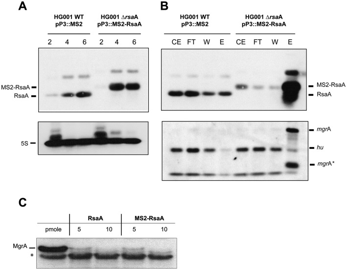 The MS2-RsaA variant is normally expressed, correctly retained by affinity chromatography and functional. ( A ) Northern blots showing the expression of RsaA and the MS2-RsaA variant in HG001 WT and HG001-Δ rsaA strains. Total RNAs were prepared after 2, 4 and 6 h of culture in BHI medium at 37°C. Hybridization against 5S RNA was used as loading control. ( B ) Northern blot targeting RsaA, MS2-RsaA, mgr A or hu performed on RNAs purified after MS2 chromatography affinity; 1 μg of total RNA was loaded on a 2% agarose gel. CE: crude extract; FT : Flow-through ; W : Washing ; EL : Elution. mgr A* denotes a short fragment of the mgr A mRNA (below 274 nts) that was specifically detected by the mgr A probe in the elution fraction. This RNA fragment most likely represented a degradation product of mgr A mRNA containing the sequences interacting with RsaA. ( C ) In vitro translation assay performed with PURESYSTEM. The reactions were performed with 10 pmol of wild-type (WT) mgr A mRNA and in the presence of increasing quantities of WT RsaA or MS2-RsaA. The proteins were separated by sodium dodecyl sulphate-polyacrylamide gel electrophoresis (10%) and were revealed using a FLAG-specific antibody. *unspecific protein revealed with the FLAG-antibody, this protein was used as an internal loading control.