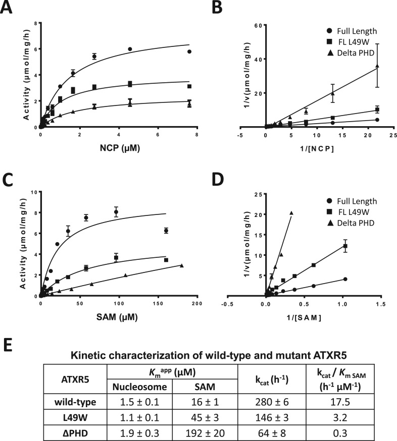 Cofactor steady-state kinetics are affected by the mutation of ATXR5 PHD domain. Michaelis–Menten (M–M) plot of the initial velocity versus <t>nucleosome</t> concentration ( A ) and its Lineweaver–Burk (LB) double reciprocal plot ( B ) for full-length wild-type ATXR5, L39W mutant and ATXR5 ΔPHD. The kinetics for the cofactor were performed using 8 μM of recombinant nucleosome. The M-M plot of the initial velocity versus cofactor concentration ( C ) and its corresponding LB plot ( D ) for the constructs used in C. ( E ) Summary of the results obtained from the M-M plots for wild-type ATXR5, L39W mutant and ATXR5 ΔPHD.