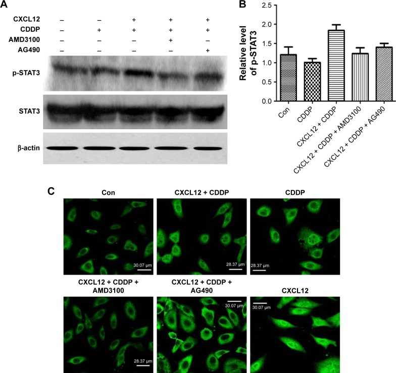 CXCL12 stimulates phosphorylation of STAT3 through pathways mediated by CXCR4 and JAK2. Notes: Cells were pretreated for 30 min with control buffer, 5 μg/mL AMD3100, or 50 μM AG490 before stimulation with CXCL12 (100 ng/mL). ( A and B ) Both AMD3100 and AG490 completely blocked CXCL12-induced phosphorylation of STAT3. β-Actin served as an internal control (Con) for normalization purposes. ( C ) Immunofluorescence staining analysis. Addition of AG490 or AMD3100 showed decreased p-STAT3 (Serine 727) in the nucleus. All experiments were repeated three times.