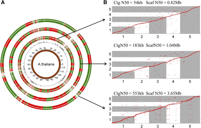 RadMap scaffolding of different WGS assemblies of A. thaliana . (A) Overview of three RadMap-based assemblies, with 15.1-, 5.7-, and 6.6-fold improvement of assembly contiguity. From inner to outer rings are genome coordinates, Bsa XI sites with between-site distances over 40 kb, and RadMap scaffolding of three WGS assemblies generated based on Illumina MiSeq PE300, PacBio-5 kb, and PacBio-14 kb data sets ( Table 3 ), respectively. The junctions between the red and green bands for the outermost three rings represent the gaps in the assembled genome, and most gaps result from genomic regions containing very sparse Bsa XI sites (between-site distances > 40 kb). (B) Dot-plot comparison of the RadMap-based assemblies and the reference genome (five chromosomes), showing high accuracy of contig linkage with Kendall's statistic > 0.98 ( Table 3 ). One red ● represents one Bsa XI tag. Ctg, contig; Scaf, scaffold.
