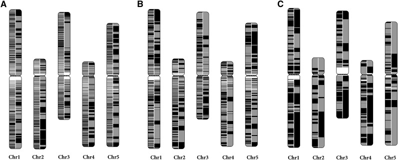 The continuity of the RadMap-based assemblies. The A. thaliana chromosomes are painted with assembled contigs. Alternating shades indicate adjacent contigs, and each vertical transition from gray to black represents a contig boundary or alignment breakpoint. The left half of each chromosome shows the input assembly of (A) 25× MiSeq PE300 data set, (B) 5× PacBio-5 kb data set, and (C) 5× PacBio-14 kb data set, while the right half shows the corresponding RadMap-based assembly. The RadMap-based assemblies are considerably more continuous, with 15-, 6-, and 7-fold improvement of N50 and 12-, 12-, and 5-fold improvement of N90. Chr, chromosome.