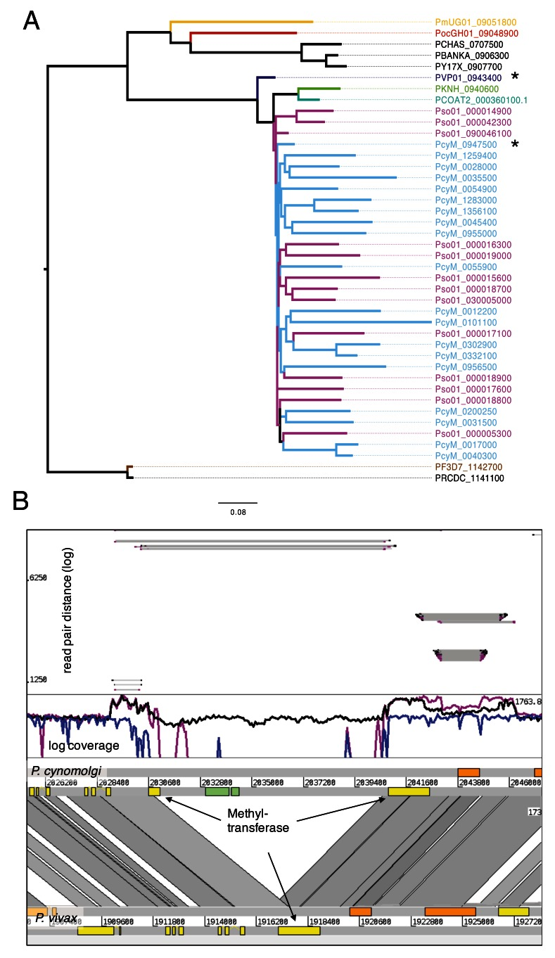 Expansion of Methyltransferase in P. cynomolgi and P. simiovale . ( A ) Tree of methyltransferase in Plasmodium, including the expansion of those genes in P. cynomolgi (36) and P. simiovale (at least 15). The closest core genes are PVP01_0943400 and PcyM_0947500. ( B ) Comparative view of P. cynomolgi and P. vivax on the locus of methyltransferase (*) of panel A. Interestingly, the locus in P. cynomolgi has an insertion with a subtelomeric gene that has a weak hit with to a putative DNA translocase Ftsk domain. Coverage plot mapped from P. cynomolgi reads (black), P. vivax (blue) and P. simiovale (magneta) is shown in log scale on P. cynomolgi . The methyltransferases are duplicated more than 35 times. As the height is roughly similar between the two duplications, we expect around the same number of methyltransferases in P. simiovale than in P. cynomolgi . The insert of the green gene is found just in P. cynomolgi, due to the missing coverage. The upper panel shows the distance of read pairs; the insertion of the region probably occurred after the duplication of the gene into the subtelomeres, as all reads from the duplications are connected over the insertion. The next core gene is also duplicated.