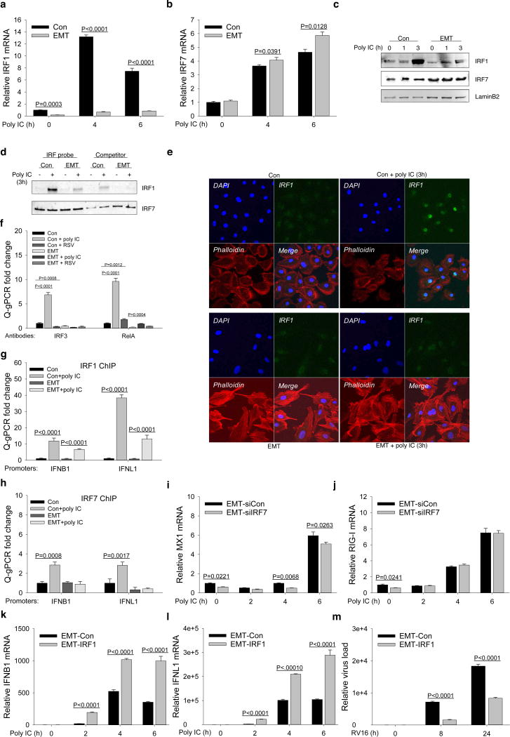 IRF1 silencing dysregulates the IFN response in TGFβ-induced EMT a – b , Q-RT-PCR analysis of IRF1 ( a ) and IRF7 ( b ) in hSAECs (Con) and EMT-hSAECs (EMT), stimulated with 50 µg/mL poly(I:C) for 0h, 4h and 6h. c , Western blot analysis of IRF1 and IRF7 in cellular nuclear fractions of hSAECs (Con) and EMT-hSAECs (EMT) stimulated with 50 µg/mL poly(I:C) for 0h, 1h and 3h. LaminB2 was used as a loading control. Shown are representative blots from three experiments. d , Microaffinity capture of poly(I:C)-inducible ISG/DNA-binding proteins. Nuclear extracts from hSAECs (Con) and EMT-hSAECs (EMT) in the absence or presence of poly(I:C) stimulation (50 µg/mL for 3h) were affinity-purified by biotinylated ISG duplex DNA or non-biotinylated competitor, captured by streptavidin beads and probed with the indicated Abs on Western blots. Shown are representative blots from two experiments. e , Confocal immunofluorescence imaging for IRF1 in hSAECs (Con) or EMT-hSAECs (EMT) stimulated with 50 µg/mL poly(I:C) for 3h. The secondary Ab was Alex Fluo 488 (green). Shown is the representative staining from five images. f , XChIP assay for IRF3 and RelA binding to the IRF1 promoter in hSAECs (Con) or EMT-hSAECs (EMT) stimulated with 50 µg/mL poly(I:C) for 3 h or infected with RSV at MOI 0.5 for 15 h. Data were quantified relative to the input signal and shown as fold-change normalized to unstimulated samples (Con). g , XChIP assay of IRF1 binding to the IFNB1 and IFNL1 promoters in hSAECs (Con) or EMT-hSAECs (EMT) stimulated with 50 µg/mL poly(I:C) for 3h. h , XChIP assay of IRF7 binding to IFNB1 and IFNL1 promoters in hSAECs (Con) or EMT-hSAECs (EMT) stimulated with 50 µg/mL (polyI:C) for 3h. i-j , Q-RT-PCR analysis of MX1 ( i ) and RIG-I ( j ) in control siRNA (EMT-siCon)- or IRF7 siRNA (EMT-siIRF7)- transfected EMT-hSAECs, stimulated with 50 µg/mL poly(I:C) for 0h, 2h, 4h and 6h. k – l , Q-RT-PCR analysis of IFNB1 ( k ) and IFNL1 ( l ) in lentiviral IRF1 stably transduced EMT-hSAE