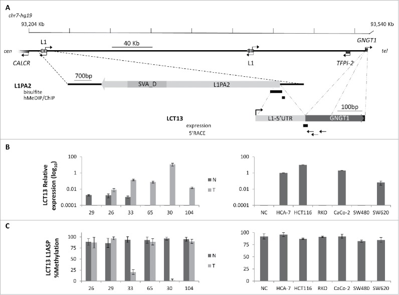 Relationship between methylation and expression of LCT13 L1ASP in CRC. (A) Top: Schematic diagram of the LCT13 genomic locus on human chromosome 7 (chr7:93,204,042–93,540,485; center) with indicated the positions of the CALCR, TFPI-2 , and GNGT1 genes and of the 2 intact intergenic LINE1s (L1) present in this region. Middle: enlargement of the LINE-1 (L1PA2: chr7:93,213,393–93,221,079, with an SVA_D spanning the interval 93,214,544–93,216,214) from which LCT13 originates with the regions (black bars) tested by bisulfite or hMeDIP and ChIP. Bottom: enlargement of the LCT13 spliced transcript with indicated its exon structure [LINE-1 5′UTR fragment in light gray (chr7:93,220,882–93,221,083) and, in dark gray, the 2 GNGT1 exons (93,536,051–93,536,154 and 93,540,102–93,540,235), part of the LCT13 transcript]. Also indicated are the positions of the Taqman assay used for LCT13 expression studies located at the splice junction (black bar) and of the primers used for 5′RACE (arrows). All coordinates are from hg19 annotations; scale is in kilobase pairs (kb). (B) Bar charts showing the expression of LCT13 measured by real time RT-PCR and expressed relatively to the geometric mean of 3 reference genes in matched normal (dark gray, N) and tumor (light gray, T) tissues from 6 colorectal cancer patients (left panel) and 6 cell lines (right panel). NC: normal colon, commercially sourced total RNA from 7 healthy donors pooled together. (C) Bar charts of the methylation levels measured by bisulfite sequencing in the tissues of the 6 patients and cell lines presented in B.