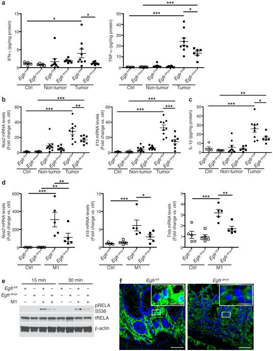 Egfr Δmye mice demonstrate decreased M1 macrophage activation during colon tumorigenesis (a) Protein levels of M1 stimuli, IFN-γ and TNF-α, were assessed by Luminex Multiplex Array from colonic tissues 77 days post-AOM injection. n = 5 control tissues and 6-9 tumors with paired non-tumor area per genotype. (b) mRNA levels of M1 markers, Nos2 and Il1b , were assessed by qRT-PCR from colonic tissues 77 days post-AOM injection. n = 6-8 control tissues and 8-10 tumors with paired non-tumor area per genotype. (c) Protein levels of the M1 marker, IL-1β, were assessed by Luminex Multiplex Array from colonic tissues 77 days post-AOM injection. n = 5 control tissues and 6-9 tumors with paired non-tumor area per genotype. In (a-c), * P