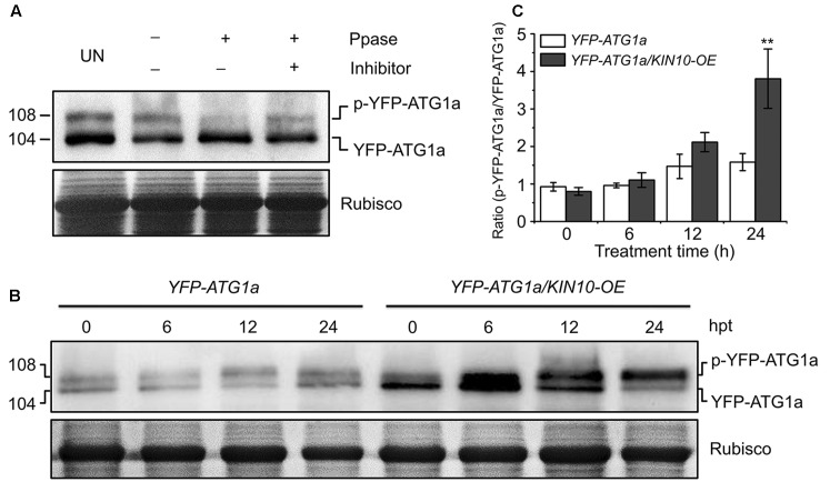 Overexpression of KIN10 increased the level of ATG1 phosphorylation. (A) Effect of λ protein phosphatase on the SDS-PAGE mobility of YFP-ATG1a. Proteins were extracted form 7-day-old YFP-ATG1a transgenic plants grown on MS medium. Extracts were treated for 1 h with λ phosphatase (Ppase) with or without the phosphatase inhibitor <t>PhosSTOP</t> and then subjected to immunoblot analysis with anti-GFP antibodies. UN, untreated extracts. (B) Immunoblot analysis of ATG1 phosphorylation in the YFP-ATG1a and YFP-ATG1a/KIN10-OE transgenic plants. Seven-day-old YFP-ATG1a and YFP-ATG1a/KIN10-OE transgenic plants were grown on MS-C medium for the indicated times prior to protein extraction. Crude extracts were subjected to SDS-PAGE and immunoblot analysis with anti-GFP antibodies. The p-YFP-ATG1a and YFP-ATG1a bands are indicated on the right. Coomassie blue-stained total proteins (Rubisco) are shown below the blots to indicate the amount of protein loaded per lane. (C) Quantification of the p-YFP-ATG1a/YFP-ATG1a ratio during carbon starvation by densitometric scans of the immunoblots shown in (B) . The data are means ± SD ( n = 3) calculated from three biological replicates. ∗∗ P