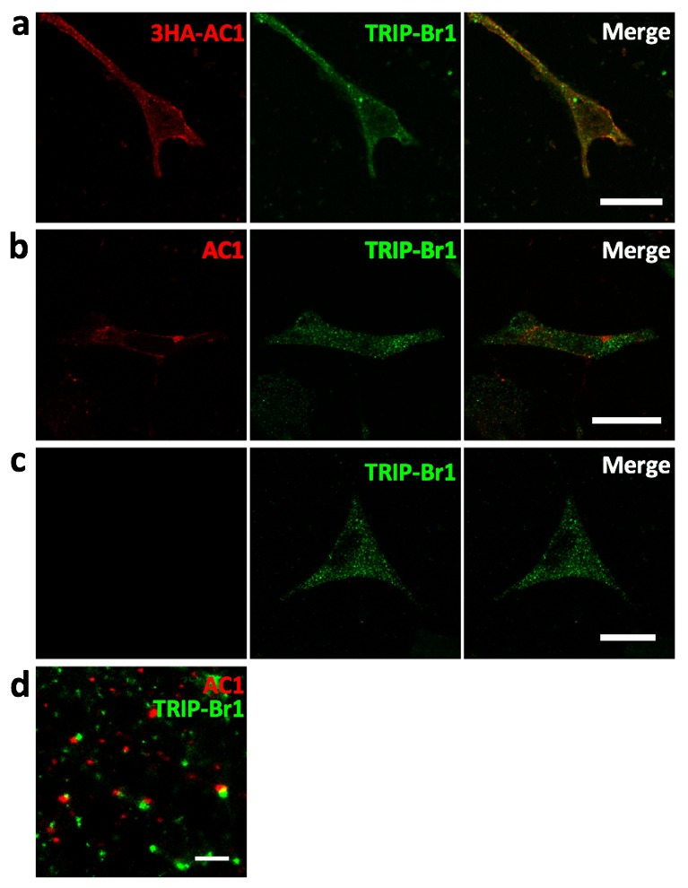 Colocalization of AC1 with TRIP-Br1. ( a ) Confocal images of HeLa cells transfected with 3HA-AC1. The cells were immunostained with anti-HA and anti-TRIP-Br1 antibodies. ( b–c ) Confocal images of untransfected HeLa cells. Anti-AC1 antibody was delivered into live cells by Lipofectamine2000, and the signal of anti-AC antibody was amplified by Atto 488-conjugated biotin because endogenous AC1 was barely detectable by conventional immunostaining ( b ). ( c ) is a control without anti-AC1 primary antibody for b . ( d ) STORM (stochastic optical reconstruction microscopy) image of non-transfected HeLa cells immuno-stained with anti-AC1 and anti-TRIP-Br1 antibodies. Because the optical depth of the image is 200 nm, endogenous AC1 and TRIP-Br1 probably interacted directly in or near the plasmalemma. Scale bars: 20 µm in a–c , and 500 nm in d . DOI: http://dx.doi.org/10.7554/eLife.28021.003