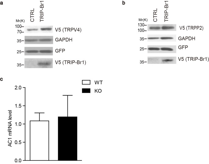 Effect of TRIP-Br1 on the expression of other membrane proteins and AC1 mRNA levels. ( a–b ) Stable expression of TRIP-Br1-V5 did not affect the protein levels of HA-tagged TRPV4 (transient receptor potential vanilloid 4) ( a ) and TRPP2 (transient receptor potential polycystin 2) ( b ) transiently expressed in HEK293T cells. GAPDH, loading control; GFP, transfection efficiency control. ( c ) AC1 mRNA levels showed no change (compared to control) in the heart tissue of TRIP-Br1 knockout mice in a real-time PCR assay (WT n = 5, KO n = 4; p=0.853). The mRNA level of AC1 was normalized relative to that of GAPDH. DOI: http://dx.doi.org/10.7554/eLife.28021.005