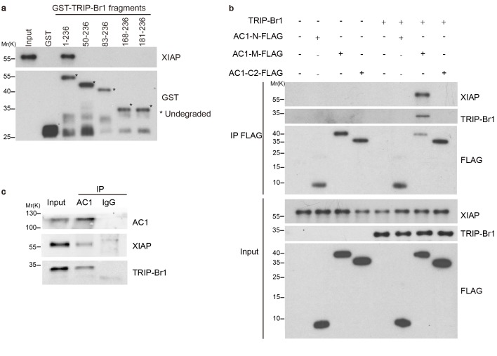 TRIP-Br1 bridges the interaction of AC1 with XIAP E3 ligase. ( a ) Full-length TRIP-Br1 fused with GST—but not GST-TRIP-Br1 truncation mutants or GST alone—captured His-XIAP purified from E. coli . ( b ) Three purified FLAG-His-tagged AC1 fragments, AC1-N, AC1-M, and AC1-C2, were used to pull down purified XIAP in the presence or absence of purified TRIP-Br1 (His-tagged at both N and C termini). ( c ) Endogenous AC1 in HeLa cells was IPed with anti-AC1 antibody or control IgG and immunoblotted with anti-AC1, anti-XIAP, and anti-TRIP-Br1 antibodies. DOI: http://dx.doi.org/10.7554/eLife.28021.006