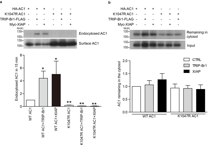 Endocytosis and recycling of HA-tagged wild-type and K1047R AC1 expressed in HeLa cells. ( a ) Upper panel: Effect of TRIP-Br1 and XIAP on the endocytosis of cell-surface wild-type and K1047R AC1. Lower panel: Summary data of 4 independent experiments similar to that shown in the upper panel. 'Endocytosed AC1' in the lower panel is the ratio of endocytosed AC to cell-surface AC in the upper panel. All data are normalized relative to data obtained for HA-AC1 alone. *, different from wild-type AC1, p≤0.0232; **p≤0.009. ( b ) Upper panel: Effect of TRIP-Br1 and XIAP on the recycling of endocytosed wild-type and K1047R AC1. Lower panel: Summary data of 3 independent experiments similar to that shown in the upper panel. 'AC remaining in the cytosol' is the ratio of remaining AC to 'input' (endocytosed AC) in the upper panel. All data are normalized relative to the data obtained for HA-AC1 alone. DOI: http://dx.doi.org/10.7554/eLife.28021.012