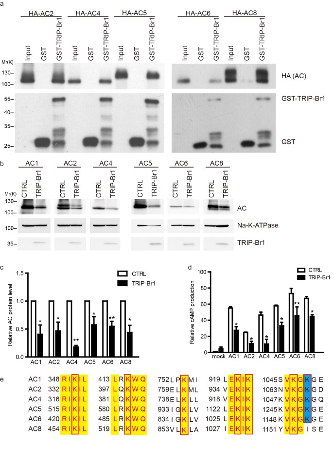 TRIP-Br1 binds to multiple AC isoforms and reduces their protein level and cAMP production. ( a ) GST-TRIP-Br1 captured ACs 2, 4, 5, 6, and 8. ( b ) Stable expression of TRIP-Br1-V5 reduced the protein expression of ACs 1, 2, 4, 5, 6, and 8 that were transiently expressed in HEK293T cells. ( c–d ) Quantification of protein levels of various AC isoforms in panel b and their forskolin-stimulated cAMP production. cAMP production is normalized relative to that of the control of mock cells. *, different from control, p≤0.048; **p≤0.009; ***p=0.001; n = 3–5. ( e ) Sequence alignment of the AC isoforms used in panel b to identify conserved Lys residues (boxed). Yellow highlight: identical residues; blue highlight: highly conserved. DOI: http://dx.doi.org/10.7554/eLife.28021.013