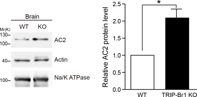 Knocking out TRIP-Br1 in mice increased AC2 expression in the brain. Na/K ATPase: membrane-protein negative control; actin: loading control. Quantification of the western blots is shown at the right: *, different from wild-type (WT), p=0.0138, n = 3 pairs of female littermates. DOI: http://dx.doi.org/10.7554/eLife.28021.016