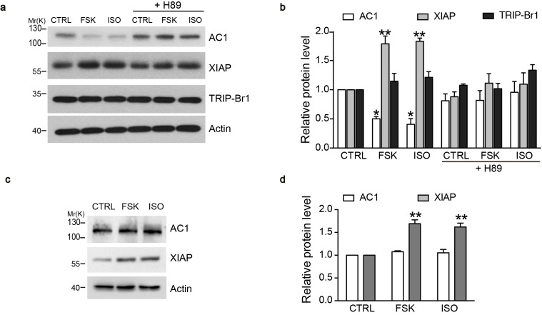 cAMP agonists promote XIAP upregulation and AC1 degradation in a PKA-dependent manner in the macrophages of wild-type but not TRIP-Br1 knockout mice. Changes in AC1, XIAP, and TRIP-Br1 expression with or without 6 hr forskolin (FSK, 10 μM, in the presence of 100 μM IBMX) or isoproterenol (ISO,10 μM) treatment in the microphages of wild-type ( a–b ) and TRIP-Br1 knockout ( c–d ) mice. H89 (10 μM), PKA inhibitor; β-actin, loading control. ( b and d ), Summary data of panels a and b , respectively, relative to β-actin. Different from control (CTRL), *p≤0.0427; **p≤0.0076, n = 3. DOI: http://dx.doi.org/10.7554/eLife.28021.019