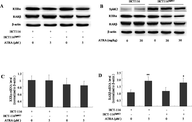 Sphk2 enhances the ATRA-induced degradation of RARβ and RXRα in HCT-116 Sphk2 cells (A) Western blots of cells exposed to vehicle or ATRA (5 μM) for 24 h to analyze the expression of RARβ and RXRα. (B) Western blots of xenografts of HCT-116 Sphk2 or HCT-116 removed from nude mice treated with ATRA for three weeks. Reverse transcriptase and qPCR assays measured RXRα (C) and RARβ mRNA. (D) HCT-116 Sphk2 or HCT-116 cells were exposed to ATRA (5 μM) for 24 h and then total RNA was extracted for reverse transcription and qPCR assays to determine the level of RXRα and RARβ mRNAs. The bars indicate means ± S.D (n = 3). *, p