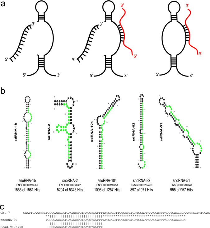 """SdRNAs are specifically processed from annotated snoRNA loci. a Transcripts arising from various annotated snoRNA loci have now been definitively shown to participate in at least two distinct noncoding RNA regulatory pathways. Individual loci can produce snoRNAs functioning exclusively as either a traditional RNA editor ( right ) or as a functional miRNA precursor ( left ) while some loci have now been confirmed to produce transcripts at times engaging in both types of noncoding RNA regulation ( center ) (reviewed in ref. 5 ). MiRNA-like excision products are illustrated in black ( left and center ) as excision products of primary transcript. Complementary RNA editing targets are shown in red ( right and center ). b The most thermodynamically stable secondary structures of putative sdRNA producing snoRNAs with sdRNA sequences highlighted in green as calculated by Mfold. 53 Common name and Ensembl gene id for putatively processed snoRNAs are listed below corresponding structures. """"Hits"""" refer to the number of times fragments of putative sdRNA producing snoRNAs perfectly aligned to small RNA-seq reads from individual SRA datasets. Numbers preceding total numbers of hits correspond to the number of times positions highlighted in green (putative sdRNAs) perfectly aligned to small RNA-seq reads (e.g., 1555 of 1581 small RNA reads aligning to snoRNA-1b corresponded to the sequence highlighted in green ). c Alignment between the human genome (GRCh38:7:22856601:22856699:1) ( top ), snoRNA-93 (ENSG00000221740) ( middle ), and next generation small RNA sequence read ( bottom ) obtained by <t>Illumina</t> sequencing of MDA-MB-231 RNA is shown. All sequences are in the 5′ to 3′ direction. An asterisk indicates base identity between the snoRNA and genome. Vertical lines indicate identity across all three sequences"""