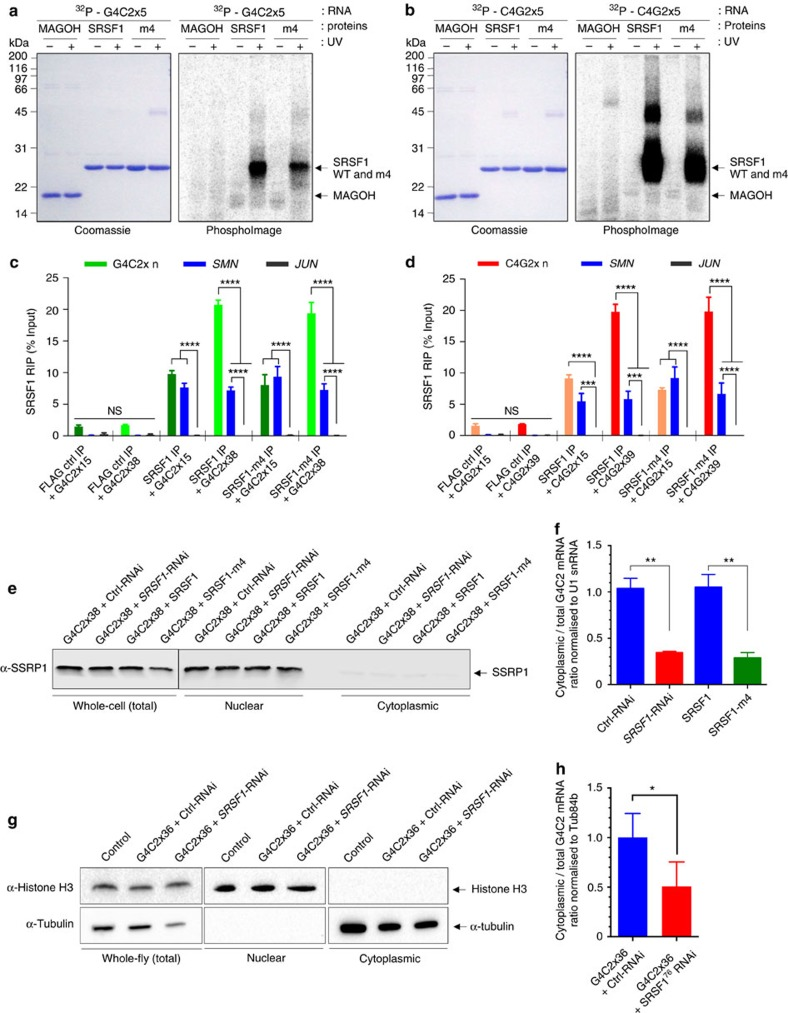 Depleting SRSF1 or inhibiting its repeat-RNA sequestration inhibit the nuclear export of C9ORF72 RAN-translated transcripts. ( a , b ) Protein:RNA UV crosslinking assays using purified recombinant proteins and 32P-end-radiolabelled G4C2x5 ( a ) and C4G2x5 ( b ) repeat RNA probes. Proteins are visualized on SDS–PAGE stained with Coomassie blue (left panels) and covalently linked RNA:protein complexes by autoradiography on PhosphoImages (right panels). ( c , d ) RNA immunoprecipitation (RIP) assays. Formaldehyde was added to the medium of live N2A cells co-transfected with G4C2x15, G4C2x38 ( c ), C4G2x15 or C4G2x39 ( d ) and either FLAG control (FLAG Ctrl), FLAG-tagged SRSF1 aa11-196 wild-type (SRSF1) or SRSF1-m4 were subjected to anti-FLAG immunoprecipitation. Purified RNA was analysed by qRT–PCR following normalization to U1 snRNA levels in three biological replicate experiments (mean±s.e.m.; two-way ANOVA with Tukey's correction for multiple comparisons; N (qRT–PCR reactions)=6). ( e ) Western blots of N2A cells co-transfected with G4C2x38 and either Ctrl or SRSF1-RNAi plasmids or with G4C2x38 and either FLAG-tagged SRSF1 aa11-196 wild-type (SRSF1) or SRSF1-m4, subjected to cellular fractionation using hypotonic lysis to yield cytoplasmic fractions. The chromatin remodelling SSRP1 factor is used to check for potential nuclear contamination. ( f ) Cytoplasmic and total G4C2-repeat sense transcript levels were normalized to U1 snRNA levels in three biological replicate experiments prior to plotting as a ratio to account for potential changes in mRNA transcription/stability (mean±s.e.m.; one-way ANOVA with Tukey's correction for multiple comparisons; N (qRT–PCR reactions)=6). ( g ) Western blots of Drosophila expressing G4C2x36 and either Ctrl or SRSF1-RNAi, subjected to cellular fractionation using hypotonic lysis to yield cytoplasmic fractions. Histone H3 is used to check for potential nuclear contamination. ( h ) Cytoplasmic and total G4C2-repeat sense transcript levels were normalized to Tub84b levels in three biological replicate experiments prior to plotting as a ratio to account for potential changes in mRNA transcription/stability (mean±s.e.m.; paired two-tailed t -test; N (qRT–PCR reactions)=3). In contrast to cytoplasmic levels, total levels of hexanucleotide repeat transcripts were not significantly altered upon expression of SRSF1-m4 or depletion of SRSF1 in cells or flies ( Supplementary Fig. 7 ). Statistical significance of data is indicated as follows: NS: non-significant, P ≥0.05; * P