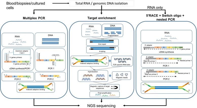 Exemplary workflow of three principal methodologies for TCR library preparation. The figure depicts a simplified workflow of the library preparation procedure using multiplex PCR, targeted in-solution enrichment and 5'RACE-switch-oligo nested PCR. Multiplex PCR is suitable for both RNA and gDNA sequencing. Samples undergo cDNA synthesis and 1 or more PCR steps followed by adaptor ligation and sequencing. While the forward primers for cDNA synthesis are designed to cover all known V genes for both starting materials, the location and number of the reverse primers differs, due to introns in DNA. Target enrichment, also applicable to both gDNA and RNA, is preceded by a standard library preparation including fragmentation for gDNA or mRNA purification for RNA, followed by end-repairing, A-tailing and finally adaptor ligation. The enrichment of target sequences is then performed using RNA baits complementary to the sequence of interest. The RNA baits hybridize with molecules in the library, which are then retrieved using magnetic beads and can undergo further amplification before sequencing. Nested PCR based on the 5'RACE and switch-oligo approach (only for RNA) makes use of the incorporation of an adaptor molecule at the 5′ end of the cDNA during cDNA synthesis. The forward primer for a subsequent PCR is designed to bind to the 5′ adaptor sequence, while the reverse primer is designed to bind to the C-region of the transcript. Hence, only one primer pair is required to cover the complete spectrum of possible V genes. Subsequent nested PCRs performed in the same fashion may increase outcome specificity. Finally, adaptor ligation is performed. The procedures showed in this picture constitute only an example of the different available methods
