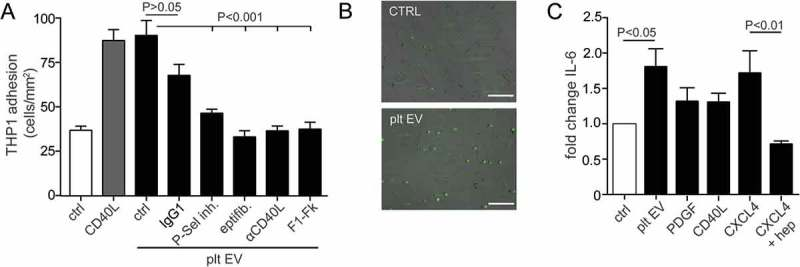 Platelet EVs increase monocytic cell adhesion and cytokine release. SMC were incubated without or with platelet EV or CD40L in the presence of indicated inhibitors <t>(P-selectin</t> inhibitor, eptifibatide, F1-Fk) or blocking antibody (α-CD40L). Syto13 fluorescently labelled THP-1 were perfused at 0.15 ml/min (3 dynes/cm 2 ) and adherent cells were quantified in six different fields; n = 5–9 (a). Representative micrographs of THP-1 cells adherent to non- or platelet EV-stimulated SMC (b). SMC were incubated with indicated agonists for 24 h and IL-6 release was measured by ELISA; n = 6 (c). P-values were calculated by ANOVA with Tukey's post-test. Scale bar: 100 µm.